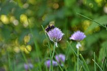 Schnittlauch-Blüte mit Hummel von Claudia Evans