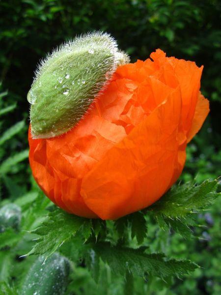 Opening-poppy