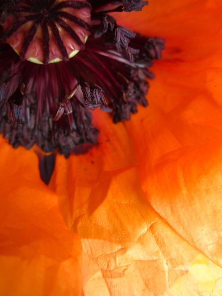 Poppy-close-up
