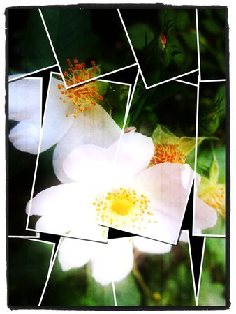 Rose-puzzle