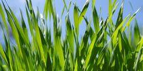 Gras mit Tropfen von Gabi Siebenhühner