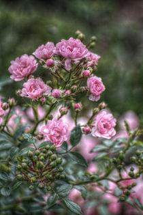 rosa Röschen von sabiho