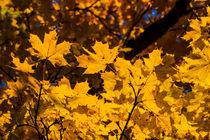 Gelb ist Gold von Mariano von Plocki