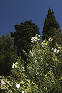 kroatischer Oleander  by Steffen Krahl