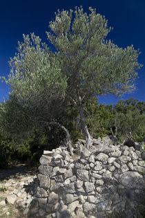 Olivenbäume 02 - Insel Raab (Kroatien) von Steffen Krahl