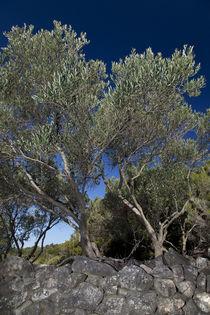 Olivenbäume 01 - Insel Raab (Kroatien)  von Steffen Krahl