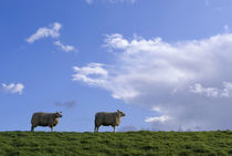 Grazing sheep on a dike von John Stuij