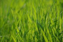 Gräser von Gabi Siebenhühner
