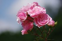 Rosen von Gabi Siebenhühner