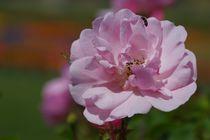 Rose von Gabi Siebenhühner