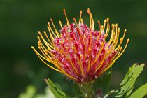 PINCUSHION-PROTEA by Gabi Siebenhühner