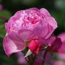 Rosa Rose von Gabi Siebenhühner