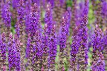 Lavendel von Gabi Siebenhühner