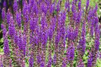 Lavendel by Gabi Siebenhühner