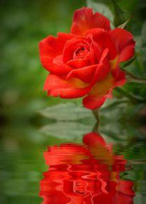 Rosenspiegelung von Gabi Siebenhühner