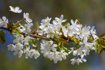 Wildkirschenblüten von Gabi Siebenhühner
