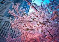 Cherry blossom in front of Tocho building von Erik Mugira
