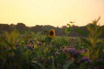 Sonnenblume ganz erhaben von Simone Marsig
