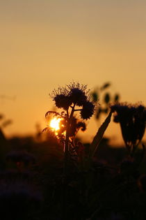 Abendsonne im Schatten einer Feldblume von Simone Marsig