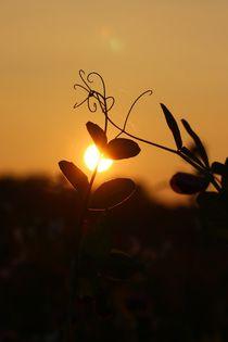 Wicken in der Abendsonne erstrahlt von Simone Marsig