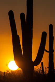 Saguaro Cactus von Jay ZeroZero