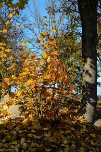Maple tree in autumn - Ahorn im Herbst von Chris Berger