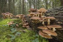 Pilzkolonie am Totbaum | Hallimasch (Armillaria) von Thomas Keller