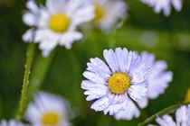 Daisy Rain by Vicki Field