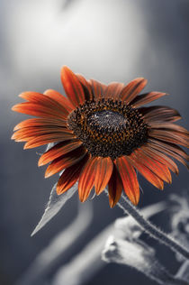 Dark Sunflower by cinema4design