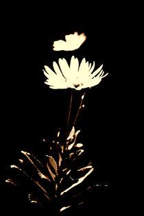 Chrysantheme by Bastian  Kienitz
