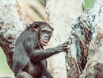 African Chimpanzee In Tree Portrait by Radu Bercan