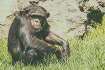 Lonely African Chimpanzee by Radu Bercan