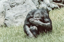 African Chimpanzee Hiding His Face by Radu Bercan