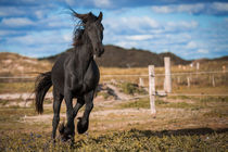 Frisian Gallop by Alexander Fouquet