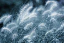 blaues gras  -  blue grass von augenwerk