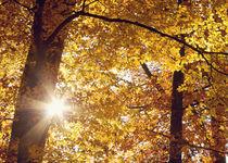 herbstsonne  -  sun in fall von augenwerk