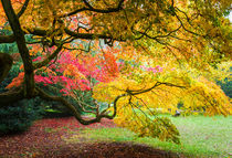 Japanese Maples (Acer Palmatum) in Autumn Colours von Graham Prentice