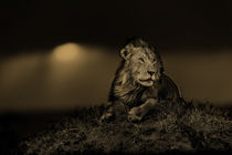Big Lion Earless at sunset in Masai Mara, Kenya von Maggy Meyer