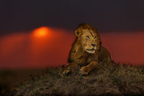 Big Lion Earless at sunset in Masai Mara, Kenya by Maggy Meyer