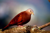 Turtledove of Colombia by Daniel Steeves