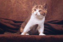 Britisch Kurzhaar Katzenbaby by Janina Bürger
