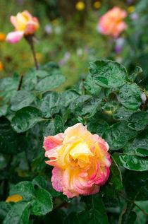 Fades wet autumn rose with blur von Vladislav Romensky