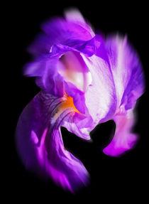 Blütenträume - Lilie by Walter Zettl