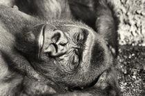 Black Gorilla Portrait