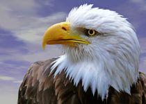 Weißkopfseeadler von Gabi Siebenhühner