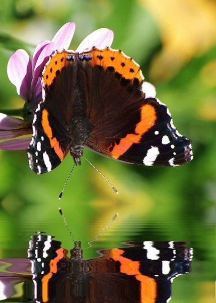 Schmetterling-mit-spiegelung