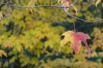 Acer Leaf  von Rob Hawkins