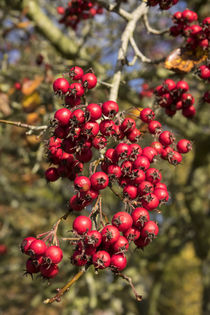 Tree Berries  by Rob Hawkins