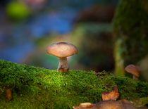 Honey fungus Armillaria mellea by Leighton Collins
