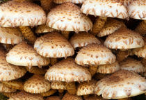 Shaggy Scalycap, Pholiota squarrosa by Leighton Collins